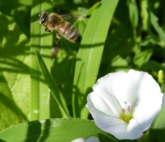 Un'infaticabile impollinatrice: Apis mellifera