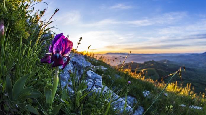 Giaggiolo siciliano all'alba su rocca Busambra