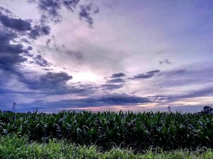 Campi di grano nella dolce luce serale