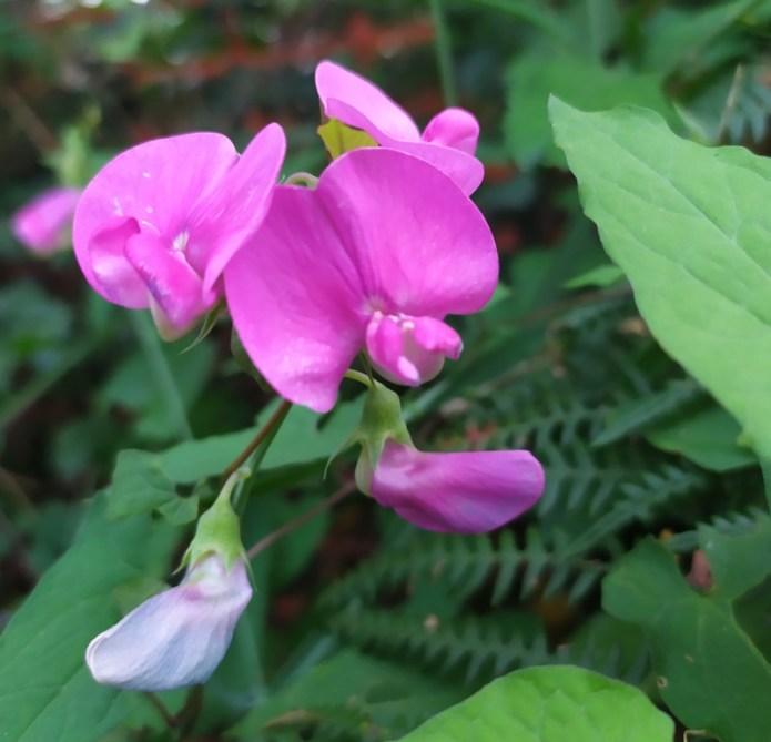 1 delle 90 - Orchidea selvatica - Rivello (PZ)