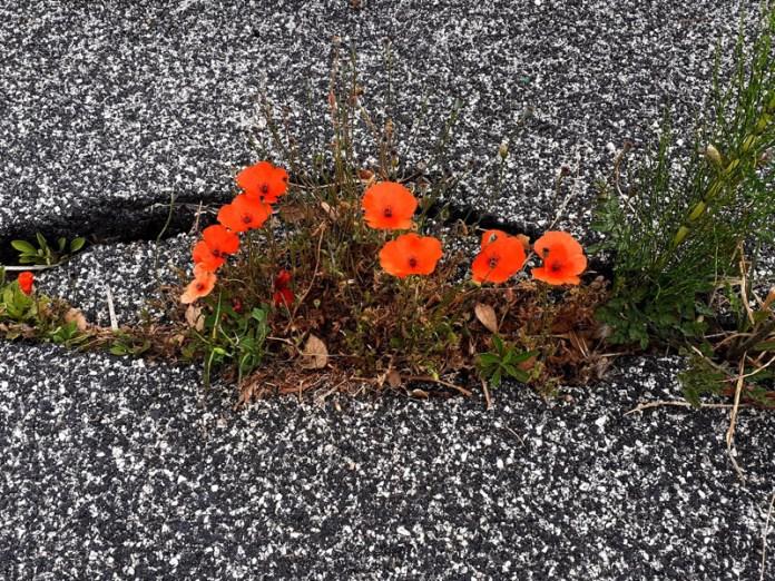Fiori tra l'asfalto