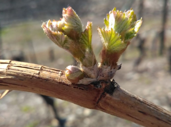 Germoglio in un vitigno valdostano