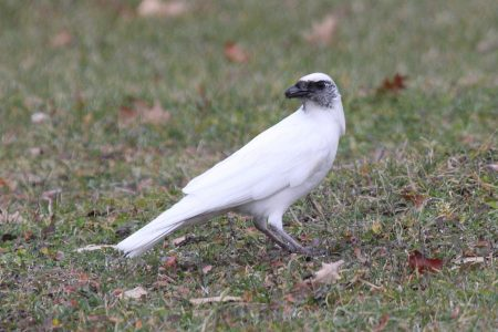 A Preference for White Magpies