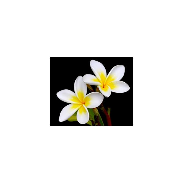 Frangipani Fragrance Oil ( Size A - 1/4 ounce)