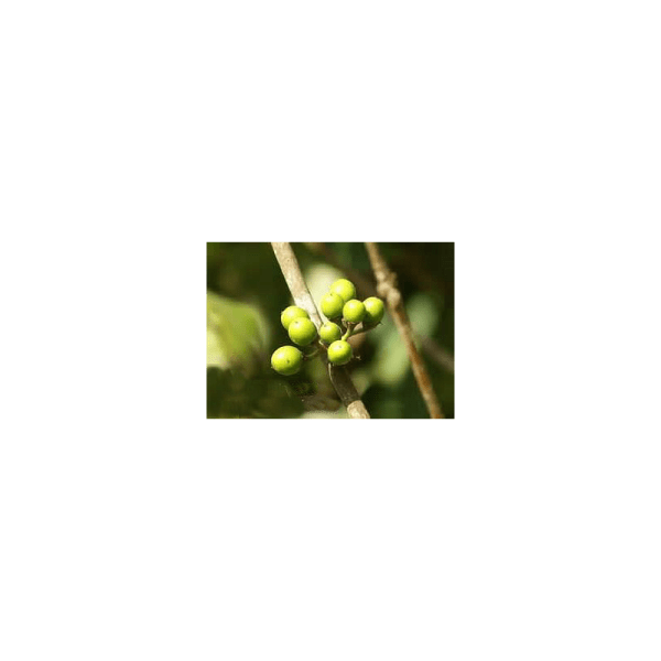 Litsea Lemon Essential Oil