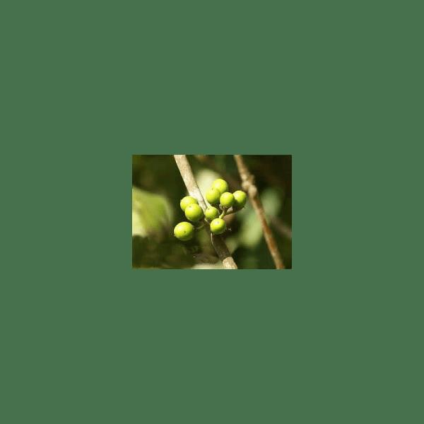 Litsea Lemon Essential Oil