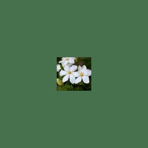 Jasmine Ginger Spice Fragrance Oil
