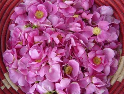Wilde Rose Fragrance Oil