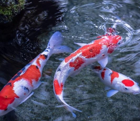 Mengenal Ikan Koi Dari SeJarah Dan Keistimewaannya