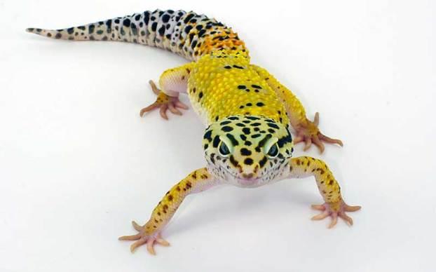 El Gecko, un gran cazador
