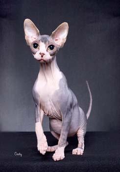 gatos exóticos: el sphynx