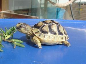 Mascotas exóticas: las tortugas