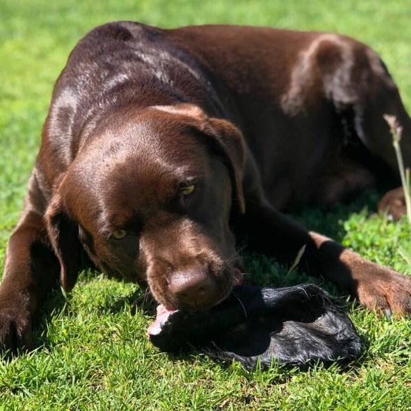 feeding breeding dogs