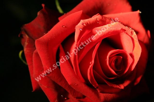 - Rosen - Liebe - Geschenk - Blume - Blüte