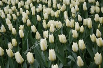 Tulpen - Blumenfeld - Blumen - Weiß - Tulpenfeld - Tulpen aus Amsterdam