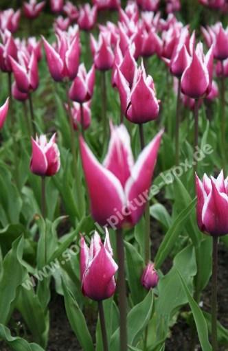 Tulpen - Blumenfeld - Blumen - lila - weiß - Tulpenfeld - Tulpen aus Amsterdam