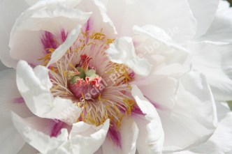 Pfingstrose - Weiß - Rosa