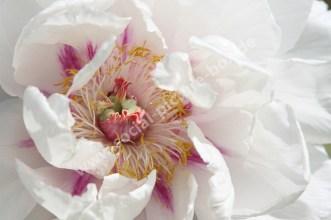 Pfingstrose - Weiß - Rosa - Offen