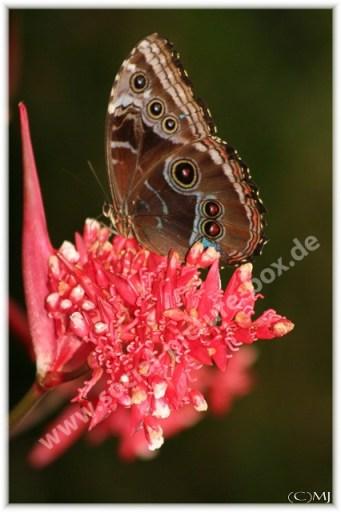 Schmetterling - Braunauge - auf Blüte