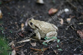 Amphibien - Frosch