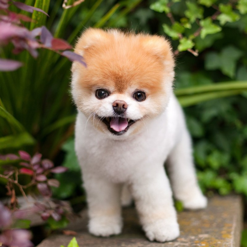 1. Boo the Pomeranian