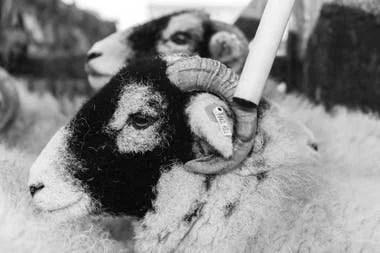 Un granjero lee identificadores electrónicos colocados en las ovejas con un bastón habilitado para ello