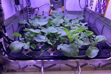 Una réplica de la huerta de rabanitos que los astronautas desarrollarán en la Estación Espacial Internacional para producir alimentos frescos y nutritivos de forma sustentable en el espacio