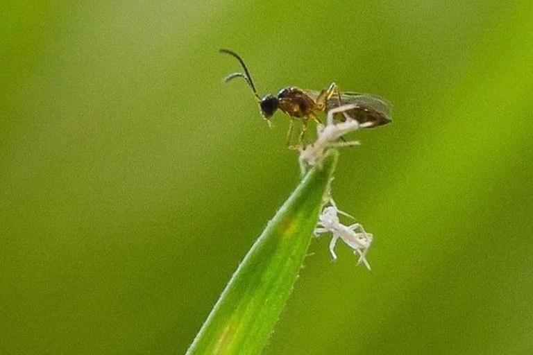 Si el uso de pesticidas va a disminuir, ¿podrían más agricultores recurrir a controles biológicos como esta avispa parásita?