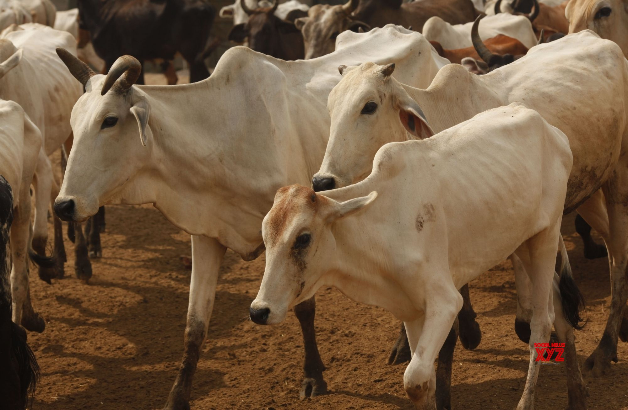 Cows worshipped on 'Gopashtami' in Braj Mandal