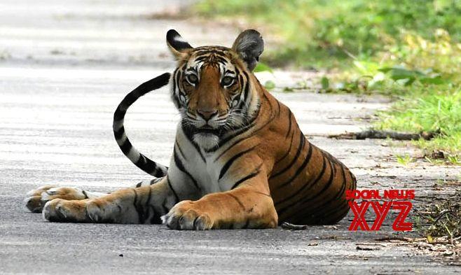 Hunt on for killer tiger in Karnataka forest