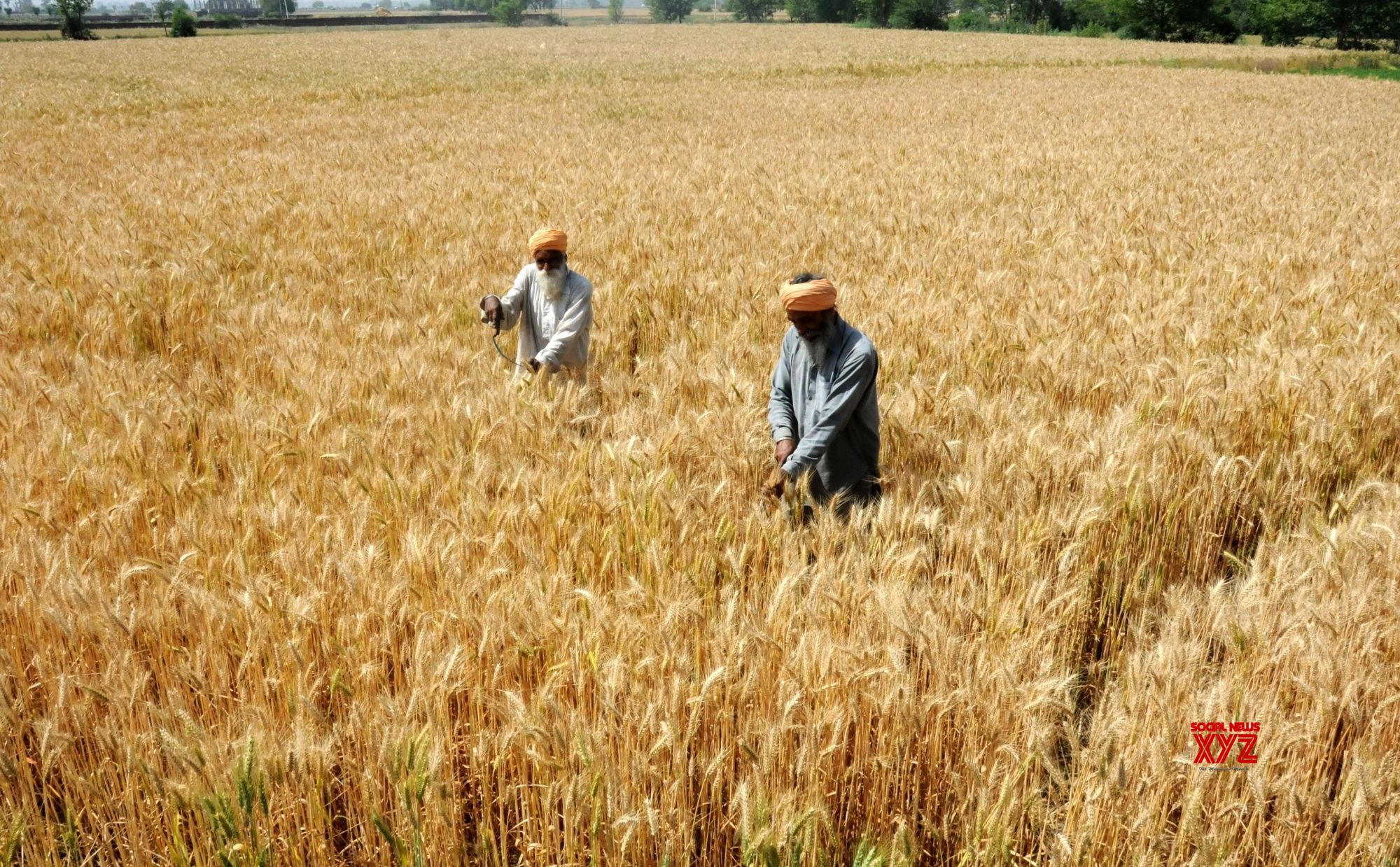 Record wheat procurement in Haryana