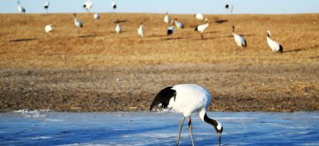 (190111) -- QIQIHAR, Jan. 11, 2019 (Xinhua) -- Artificially-bred red-crowned cranes are seen at Zhalong National Nature Reserve in Qiqihar, northeast China's Heilongjiang Province, Jan. 10, 2019. Zhalong nature reserve serves as the habitat of over 190 types of rare birds like red-crowned cranes. (Xinhua/Wang Jianwei)