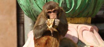 (190125) -- KATHMANDU, Jan. 25, 2019 (Xinhua) -- A monkey licks banana peels at Swayambhunath, a UNESCO heritage site in Kathmandu, capital of Nepal, Jan. 25, 2019. Swayambhunath is popularly known as Monkey temple. (Xinhua/Sunil Sharma)