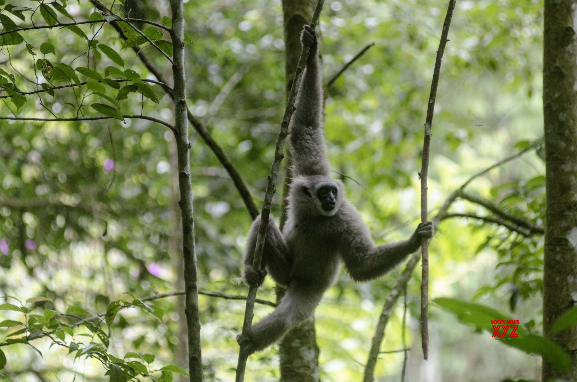 INDONESIA - WEST JAVA - JAVAN SILVERY GIBBON - RELEASED #Gallery