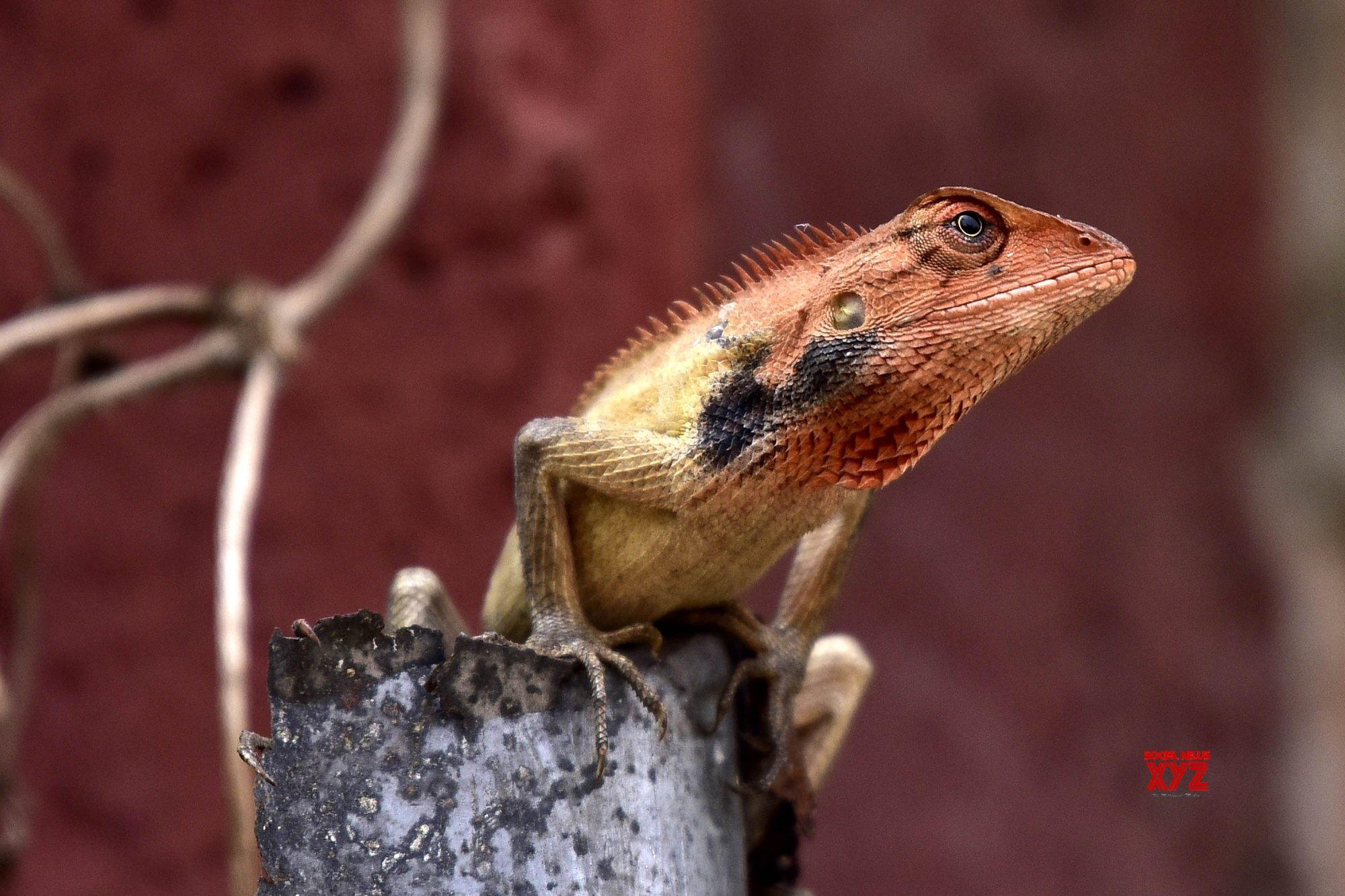 Guwahati: Oriental garden lizard #Gallery