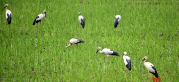 Morigaon: A flock of Asian openbill storks search for food at a rice field in Assam's Morigaon on March 15, 2019. (Photo: IANS)