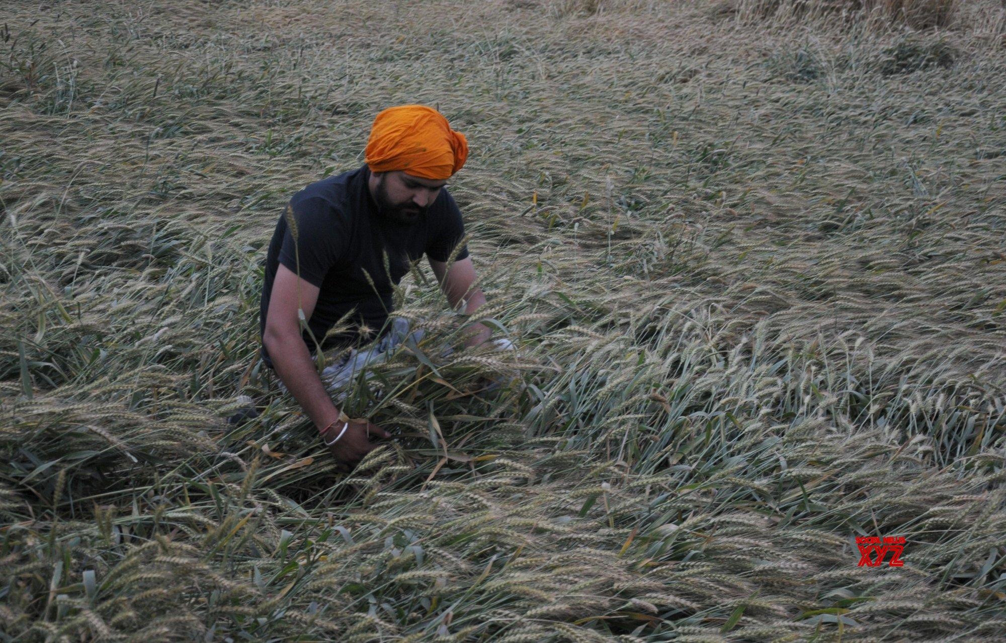 Amritsar: Crops affected by strong wind, rains #Gallery