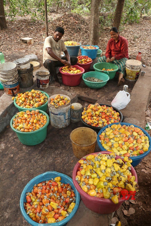 Mayem (Goa): Cashew processing #Gallery