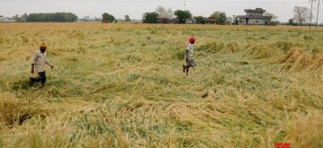 Amritsar: Farmers inspect their wheat crop at a field, on the outskirts of Amritsar on April 17, 2019. Standing wheat crop was damaged after rain, dust-storm and strong winds lashed Punjab on Tuesday. Harvesting of wheat is on for the past 10 days in most parts of Punjab and Haryana. (Photo: IANS)