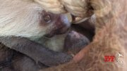 Baby sloth gets slow, but loving, care from mother  (Video)