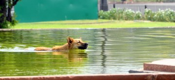 New Delhi: A dog seen swimming on a hot day, in New Delhi, on June 9, 2019. (Photo: IANS)