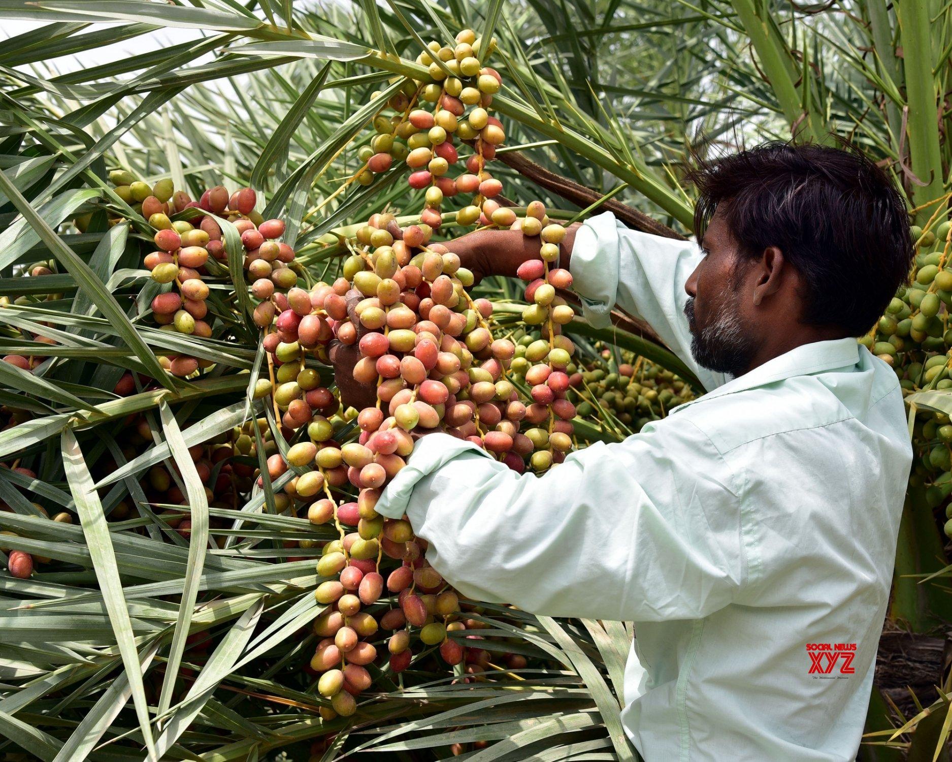 Bikaner: Date cultivation #Gallery