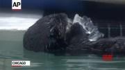 Rescued otter pups debut at Chicago aquarium [HD] (Video)