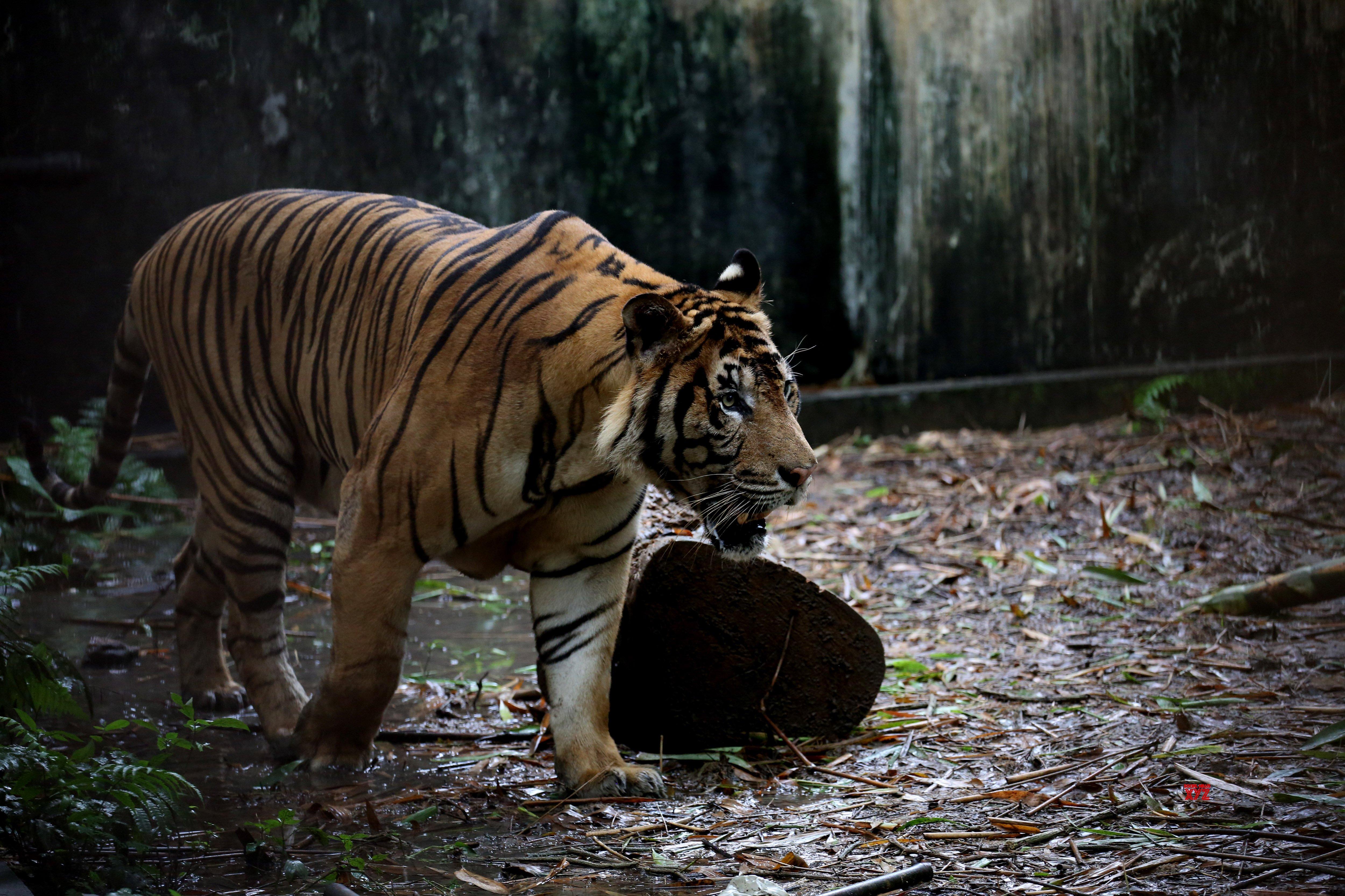 No sign of killer tiger in Karnataka's Bandipur forest