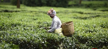 Nagaon: A plantation worker busy plucking tea leaves at a tea garden in Assam's Nagaon on June 10, 2019. (Photo: IANS)