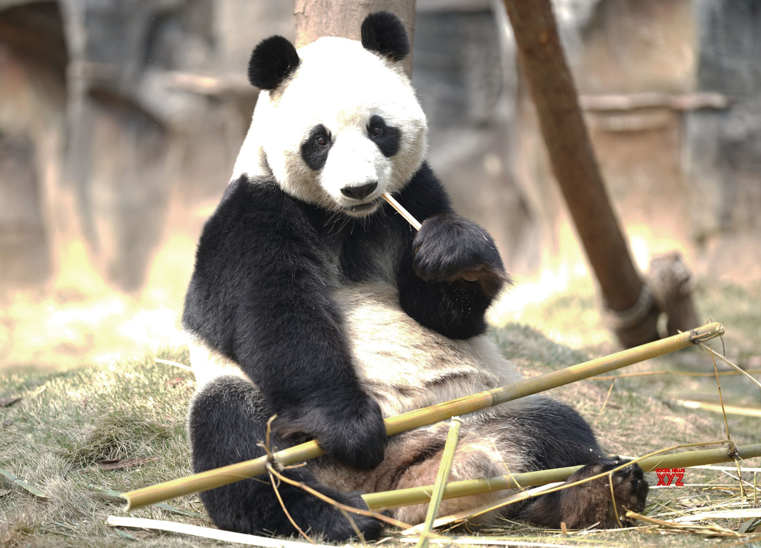 Zoo returns two pandas to China due to bamboo shortage amid pandemic