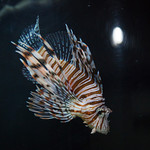 Lionfish at Jellyfish Restaurant