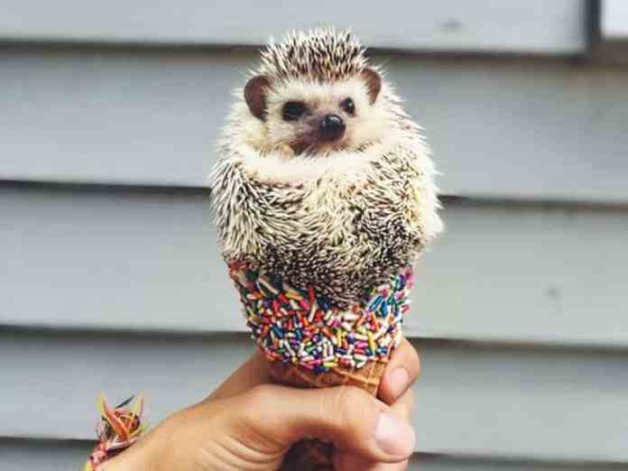 Are you stressed from a really difficult day and need a reason to smile? Well, look no further, here are some ridiculously cute photos of hedgehogs!