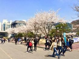 Kirschblüten auf dem Campus // Cherry blossoms on campus