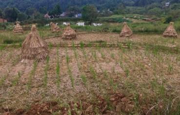 Reisernte in der Nähe von Mianyang